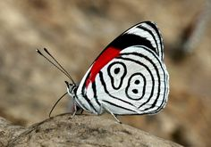 Butterflies of the Andes - Diaethria neglecta. Beautiful Butterflies, Beautiful Flowers, Moth Caterpillar, Butterfly Pictures, Bugs And Insects, Nature Crafts, Beautiful Creatures, Ladybug, Cute Animals
