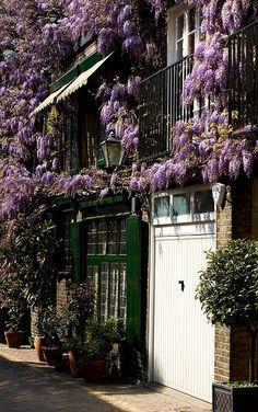 Wisteria in May in Kynance Mews, South Kensington, London