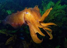 Giant Cuttlefish. They are seriously the cutest.