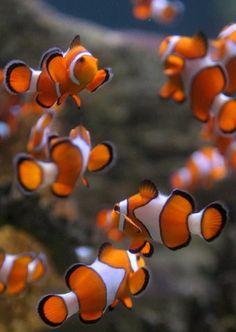 Cardumen de peces payaso