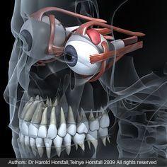 Detailed anatomic 3d model of eyes in skull