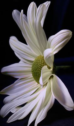 Simply Daisy~my favorite flower since a little girl...