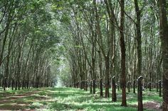 View from Wat Kandal to Suong, Tbong Khmum province, Cambodia 3 Rubber Tree, Natural Rubber, Cambodia, Awesome, Amazing, Told You So, Country Roads, Nature, Naturaleza