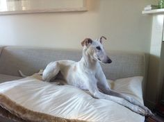 Fee, our adopted galgo girl. Came together with Lisa.