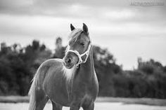 Image result for miniature horse photography