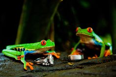 Wedding Rings with frogs...Took a while to set it all up...:) #destinationwedding #destinationphotographer #CostaRicawedding #weddingbands #frogs #uniquephotos #creativepictures #weddingpictures #weddingphotoideas