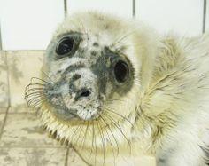 Grijze zeehondenpup (foto: Sytske Dijksen)