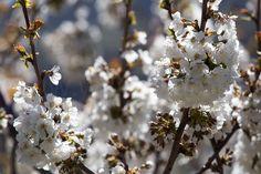 Prachtige voorjaarsbloesem hier in Capileira. #willemlaros.nl #flickr #photography #travelphotography #traveller #canon #snpnatuurreizen #canon_photos #fotoreis #travelblog #reizen #reisjournalist #travelwriter#fotoworkshop #reisfotografie #landschapsfotografie #follow #alpujarras #capileira #granada #spanje #fb
