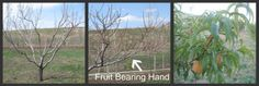 How to Prune Peach Trees:    Imagine what your hand looks like when holding a giant peach. When pruning peach trees, the shape of your hand is very similar to the shape of the pruned peach tree. The center is open with about 5 main branches angling upward at 45 degrees. Of course, unlike your hand, the branches are evenly spaced around the tree.  Each one of these main branches holds another hand. This second hand is what carries and bears fruit.
