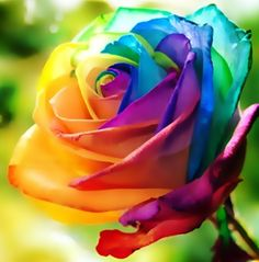 Become your own florist  Create luscious flower arrangements at home     150 pcs Seeds Rare Holland Rainbow Rose Flower Home Garden Rare Flower  Seeds Colorful Rose Seeds
