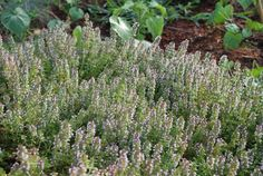 Creeping thyme and other thymes are a good nectar source for parasitoid wasps.