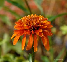 Röd Rudbeckia 'Marmalade', Echinacea 'Marmalade'