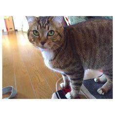 アンちゃん朝からオモチャで遊んでて勢いでテーブルにおもいっきり顔面強打🙀 そっから痛い〜撫でて〜ってスリスリ😿  #cat#kitty#愛猫#猫
