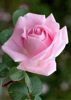 """""""🌸 This week is going to be filled with miracles 🌸"""" Beautiful Rose Flowers, Love Rose, Flowers Nature, Beautiful Flowers, Purple Roses, White Roses, Pink Flowers, Rose Images, Rose Pictures"""