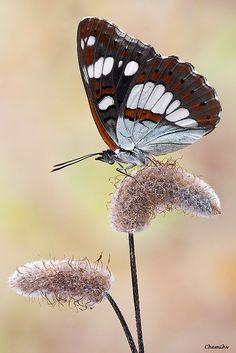 Butterfly Ninfa de los arroyos( Limenitis reducta)