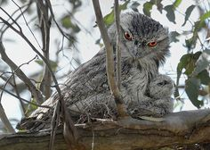 Tawny Frogmouth, Podargus strigoides, and one chick
