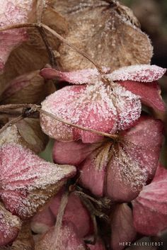 Colors ~ Pink, Brown ~ Frost on Flowers