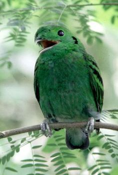 The Green Broadbill (Calyptomena viridis) is a small, approximately 17 cm long, brilliant green-plumaged bird with a black ear patch, wide gape bill, rounded head, short tail and three black bars on wings. The beak itself is very weak and almost hidden by the crest above it. Both sexes are similar. The female is duller and has no black markings on its ear patch and wing coverts. The Green Broadbill is distributed in broadleaved evergreen forests of Borneo, Sumatra and Malay Peninsula