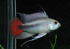AquaBid.com - Item # fwapisto1450386872 - Apistogramma Erythrura Cichlid Pair  REGULAR - Ends: Thu Dec 17 2015 - 03:14:32 PM CDT