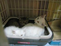 札幌近郊で子猫の一時預かりさん緊急募集 ツキネコカフェまで #猫