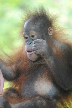 How cute, baby orangutan!