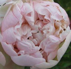 Blush peonies available July-September $8.50 ea. Wholesale prices available Blush Peonies, Peony, Cold Porcelain, Alaska, September 8, Flowers, Plants, Ea, Inspiration