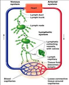 relationship between differentiation and malignancy of the lymphatic system