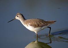 Marsh Sandpiper (Tringa stagnatilis) Ian n. White
