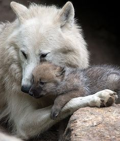 At the Berlin Zoo in Germany, a 1-month-old wolf pup is seen snuggling up to its mother in their enclosure. Arent they adorable?