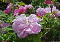 Photo of the rose 'Rosa damascena semperflorens' Damask Rose, Rose Photos, Flowers, Plants, Rose Trees, Plant, Royal Icing Flowers, Flower, Florals