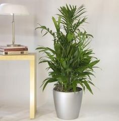 Top 10 Air-Purifying Plants for Your Home: Bamboo Palm