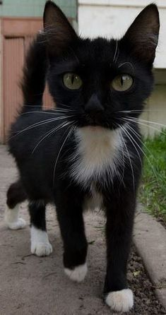 .Tuxedo cat - looks like my cat when we first got him, before he filled out a bit!