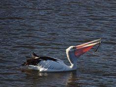 #pelican #pelicans #bird #Portfairypics #Portfairy #river #water #3284 #fish #Photograph #Photography #photographer #photo #animalphotography #waterphotography #great_captures_nature #great_captures_australia #australia #greatoceanroad by 6seasons http://ift.tt/1UokfWI