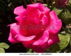 Velvet rose. - stock photo