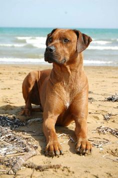 The Rhodesian Ridgeback is a beautiful dog. My book, Game Changer, features one of these breeds. Rhodesian Ridgeback Puppies, Purebred Dogs, Lion Dog, Dog Cat, Beautiful Dogs, Animals Beautiful, Big Dog Breeds, Different Dogs, Wild Dogs