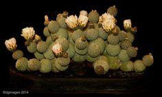 Advanced Class, Best Cactus - Tephrocactus alexandrei v. geometricus from Ron Harris.
