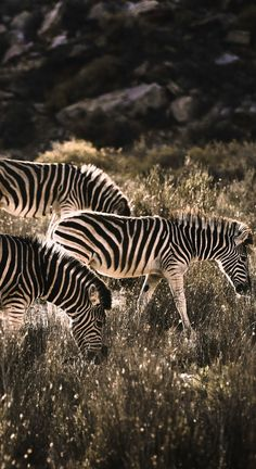 Zebras grazing Aquila Safari Cape Town South Africa (Photo credit to Isabella Juskova) Wild Animals Photography, Wildlife Photography, Photography Kids, Photography Portraits, Africa Fashion, Wild Animal Wallpaper, Tropical Animals, Safari Animals, Forest Animals