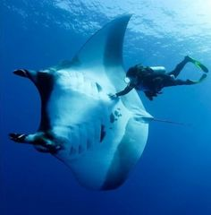 Scuba Diving - Seatech Marine - giant Manta Ray and Diver. Amazing Animal Pictures, Random Pictures, Fauna Marina, Underwater Life, Underwater Animals, Underwater Images, Manta Ray, Deep Blue Sea, Ocean Creatures