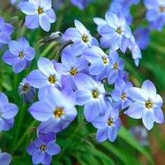 Blue Spring Starflower - 10 per package Ground Cover, Summer Bulbs, Perennial Bulbs, Spring Bulbs, Unusual Flowers, Spring Blooms, Plant Spacing, Rock Garden, Fall Bulbs