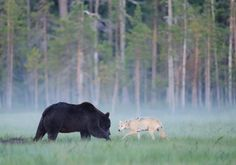 Wild Wonders of Europe    Brown bear (Ursus arctos) and Eurasian wolf (Canis lupus)    FINLAND/KUIKKA, KUHMO, KAINUU    Ten years ago, most Europeans who wanted to see bears, went to Alaska. Now they can instead go to Finland, Sweden or Romania, who all have ecotourism  operators who will take you to see the bears from hides.    Photo: Staffan Widstrand/Wild Wonders of Europe