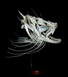 Monkfish skull by Vaukalaka, via Flickr