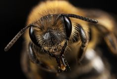 #macro #photography #bee #insect #close-up #nicography