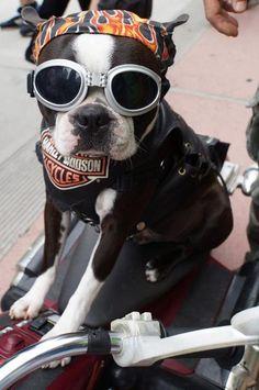 Chopper the  biker dog  I <3 Chopper http://buymelaughs.com/ Funny pics of Puppies #puppies #pics