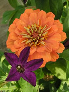 What a great color combination - Zinnia Bernary Salmon and Nicotiana Perfume Deep Purple (flowering tobacco)