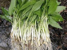 Wild Garlic, Healing Herbs, Beautiful Gardens, Cabbage, Skin Care, Vegetables, Cooking, Healthy, Food