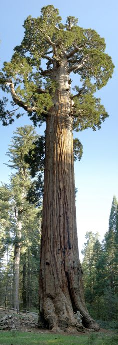 The General Grant tree is the largest giant sequoia (Sequoiadendron giganteum) in the General Grant Grove section of Kings Canyon National Park in California and the second largest tree in the world.    http://en.wikipedia.org/wiki/General_Grant_tree