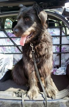 Petfinder  Adopted | Dog | Irish Wolfhound | Manhasset, NY | Mickey