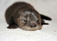 otter Baby I love baby animals. Literally I'm way too obsessed with baby animals. Zoo Animals, Cute Baby Animals, Animals And Pets, Funny Animals, Baby Sea Otters, Animal Fashion, Friends In Love, Funny Cute, Animal Pictures