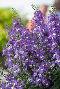 Angelonia - it's drought tollerant, it flowers all season, it loves deep shade and deer won't eat it. Plant care info is on the post - via Everyday Gardeners