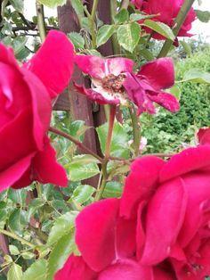 Clevere Gärtner schneiden ihre Rosen nach der ersten Blüte! — Parzelle94.de